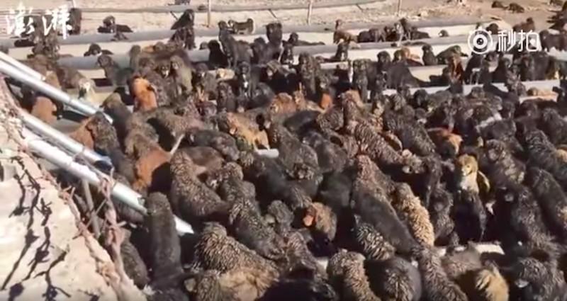 神話破滅!身價億元藏獒淪浪犬「咬死8歲女童」!「500隻狗快比人多」居民不堪其擾!