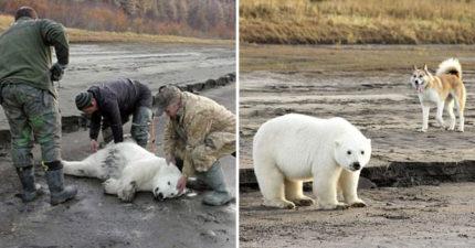 因天气变迁北极熊宝宝被迫「离家724公里」,找到时发现他已经自己找到新的狗家人了