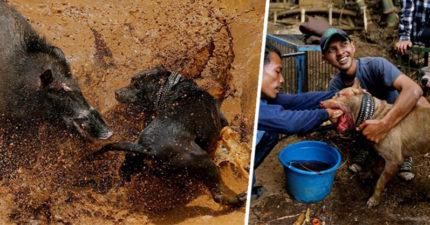 動保團體直擊印尼「野豬鬥狗殘忍血腥大戰」...打到死掉不能再打為止!當地人:「這是我們的習俗」(影片)