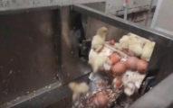 不能生蛋就GG!2.5億隻小公雞一出生「臉萌沒用」一樣被扔進絞碎機「絞成飼料」!(影片慎入)