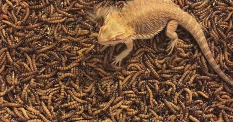 密集恐懼慎入!把鬆獅蜥「放進200隻蟲蟲天堂」一開始還沒反應...下秒「吃到飽」400萬網友超過癮!(影片)