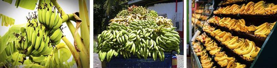 義美94狂!霸氣宣布「收購60噸香蕉」救台灣蕉農!網敲碗:做香蕉厚奶茶!