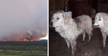 主人因森林大火「被迫放棄2隻牧羊犬」以為他們死了!20天後霸氣返家「後面還跟一群」!