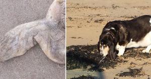 溜狗時發現沙灘上有貌似「被切下的男性GG跟子孫袋」,警察一看發現案情不單純