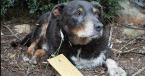 家人以為12歲老狗失蹤擔心他回不來,看到「脖子上字條」才知道他偷跑出去救了性命當英雄!