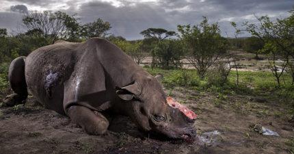 被殘忍鋸下牛角...「血腥犀牛屍體照」奪野生攝影大獎!攝影師:對人性失去信心