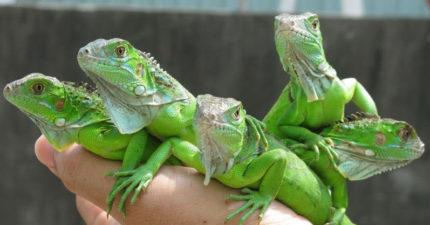 慎入!绿鬣蜥破坏生态「爬虫类玩家」拿来吃,滋味超乎想像!料理完模样让网友:这我无法 (影片)