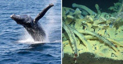 保育鯨魚也是為了人類!「鯨落」鯨魚死後留給大海最後的溫柔,持續百年創造「珍貴生態系統」緩慢又華麗!