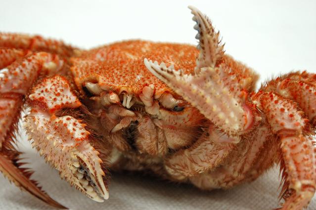 吃螃蟹到喪命!84歲嬤被螃蟹割傷不以為意,隔天手腫得像「麵龜」短短4天喪命!