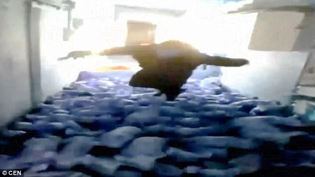 肥男連3次跳到一群小豬身上,把豬圈當「游泳池」79隻小豬壓爆遭重罰!還開心PO網...