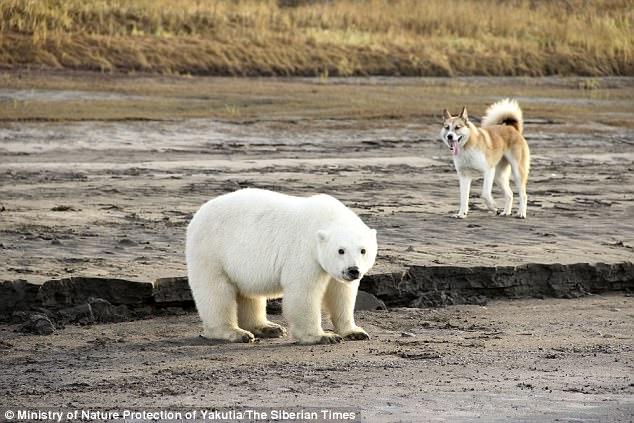 因天氣變遷北極熊寶寶被迫「離家724公里」,找到時發現他已經自己找到新的狗家人了