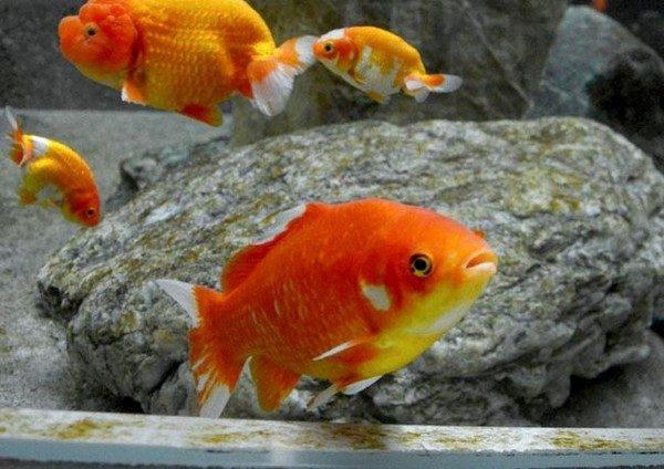 小金魚原本是山椒魚食物「搏命6年」逃到對方都死了,期間狂啃皮進化成30cm「鯉魚王」!新室友萌翻