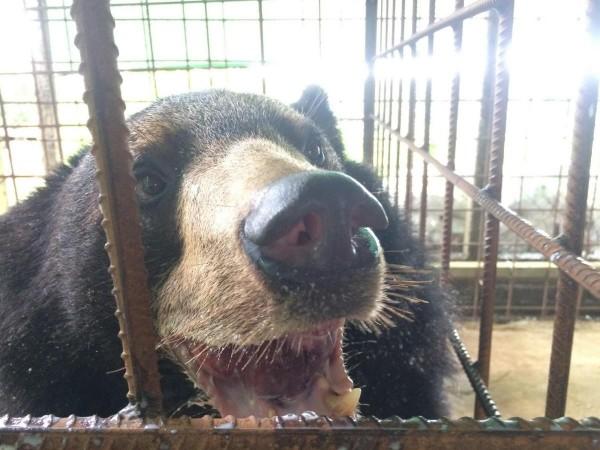 黑熊患怪病「舌頭腫脹3公斤」垂在體外,舌頭還會「拖在地上」讓他無法進食!(影片)