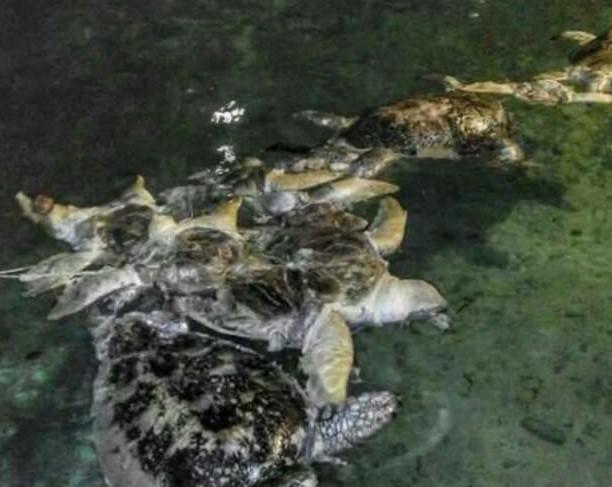 頻臨絕種的海龜回家上岸產卵,卻被發現「剖腹取卵」棄屍沙灘上!