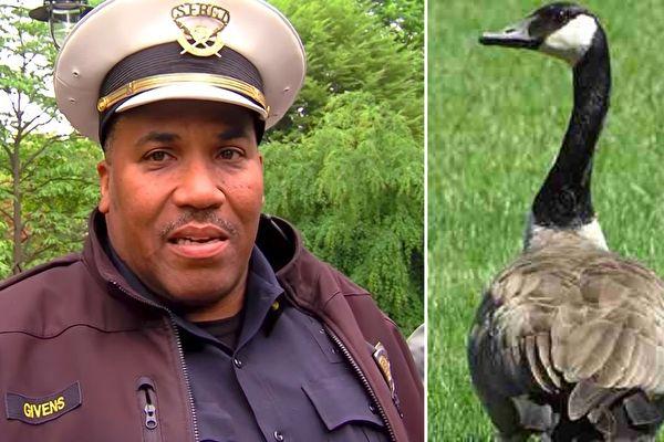超大膽的鵝走過來用嘴啄警車,警察跟過去發現超感人「好險即時趕到」! (影片)