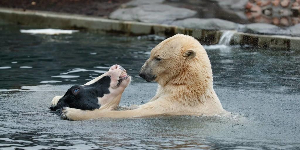 他见北极熊和乳牛池塘里「温馨戏水」,下一秒却让全场游客忍不住尖叫…网友笑:这阴影面积大惨了! -aaaaaaRV1