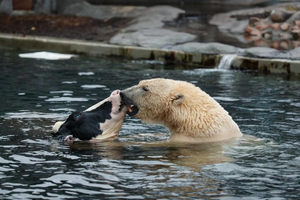 他见北极熊和乳牛池塘里「温馨戏水」,下一秒却让全场游客忍不住尖叫…网友笑:这阴影面积大惨了! -aaaaaaRV2
