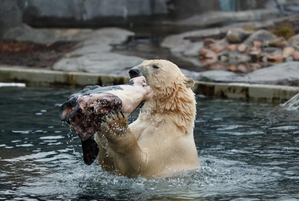 他见北极熊和乳牛池塘里「温馨戏水」,下一秒却让全场游客忍不住尖叫…网友笑:这阴影面积大惨了! -aaaaaaRV7