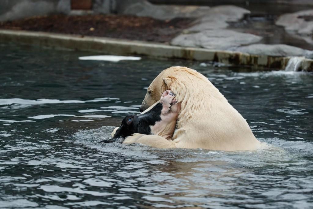 他见北极熊和乳牛池塘里「温馨戏水」,下一秒却让全场游客忍不住尖叫…网友笑:这阴影面积大惨了! -aaaaaaRV9