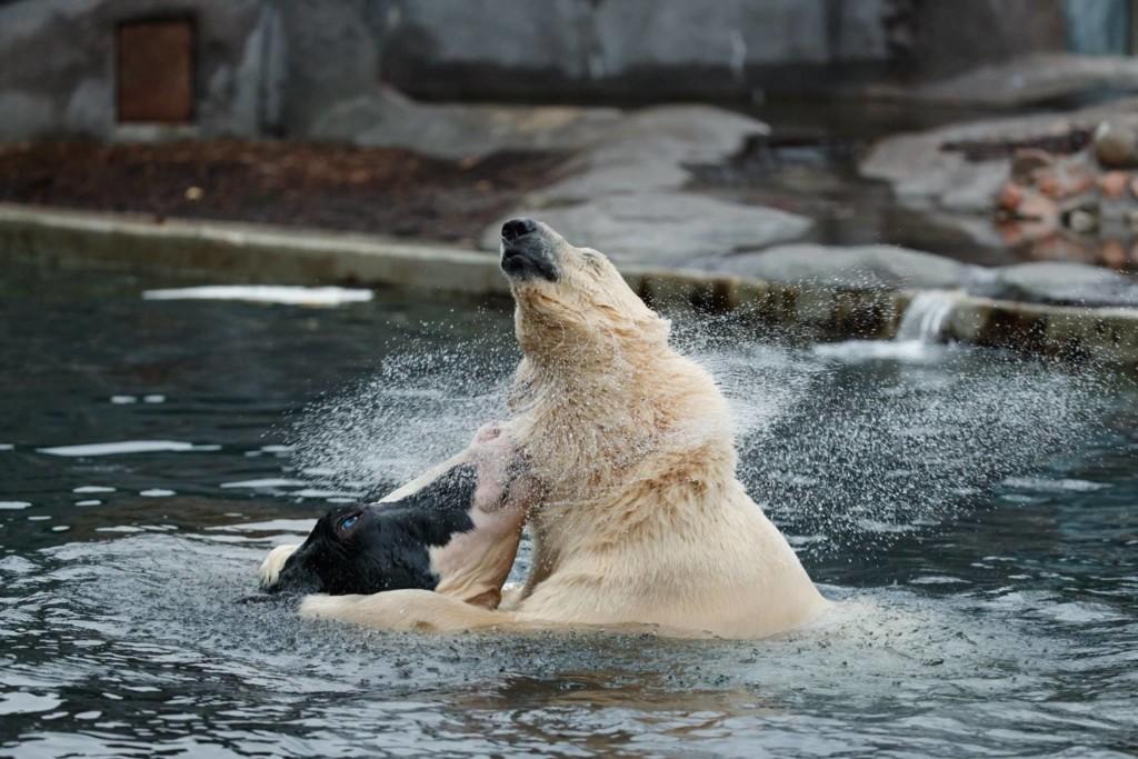 他见北极熊和乳牛池塘里「温馨戏水」,下一秒却让全场游客忍不住尖叫…网友笑:这阴影面积大惨了! -aaaaaaRVc