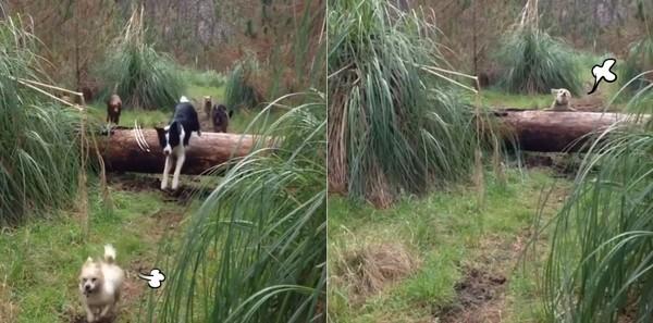別忘了本大爺啊!狗狗開心狂奔森林「跳樹幹」,柯基腿太短「秒翻肚」:還有我啊~(影片)
