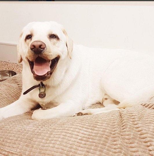 這隻拉拉受訓後被發現「不適合當導盲犬」失業,但因禍得福現擁有世界最棒工作!PS.他同事可愛到爆