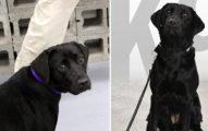 美國CIA發現其中一隻狗狗「不喜歡找炸藥」只愛討摸摸,在推特上忍痛將她開除!