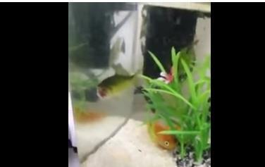 被河豚咬斷「無頭魚繼續生活」片段超詭異!網笑:比起台灣官員求生意志還差的遠 (影片)
