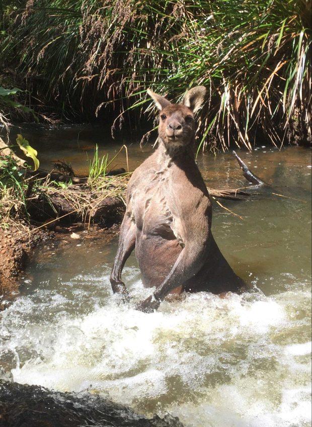 他看到河裡有著一隻「史上最性感袋鼠」,他一露出水面全身「健壯肌肉」讓他心跳加快