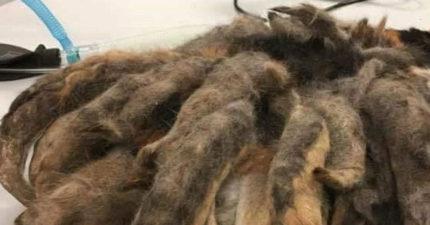 男子到親戚家意外發現仙獸九尾狐,「剃毛後」才發現原來是個超萌小可愛!