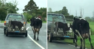 母牛眼見「小牛被載走」在後面拼命想追上,「母子分離畫面」令人心碎...但已見慣了...