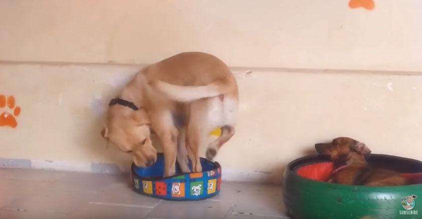 大狗狗大床被小弟弟搶走,「只剩下小床」拼了命想躺進床裡最後覺悟讓人笑噴!