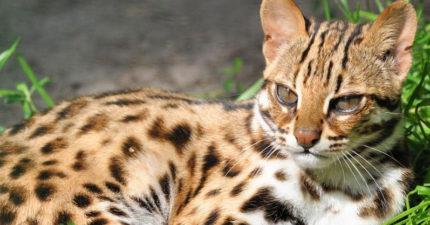 八卦山證實為「瀕臨絕種石虎」棲地!20多年來首度拍到活體!