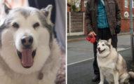 這隻雪橇犬被指控「攻擊路人」超凶狠,但法官以「他太胖不可能犯案」為由判無罪!
