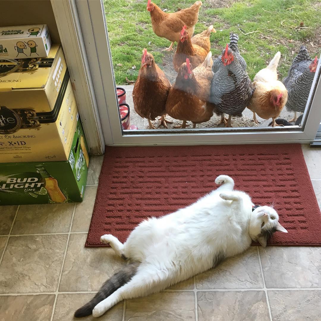 鸡界大明星!这只「胖猫皇」有着一群死忠粉丝,超专业粉丝服务每天变换「不同慵懒英姿」提供观赏! (14张) -21294423_918650418273593_9188843420372697088_n