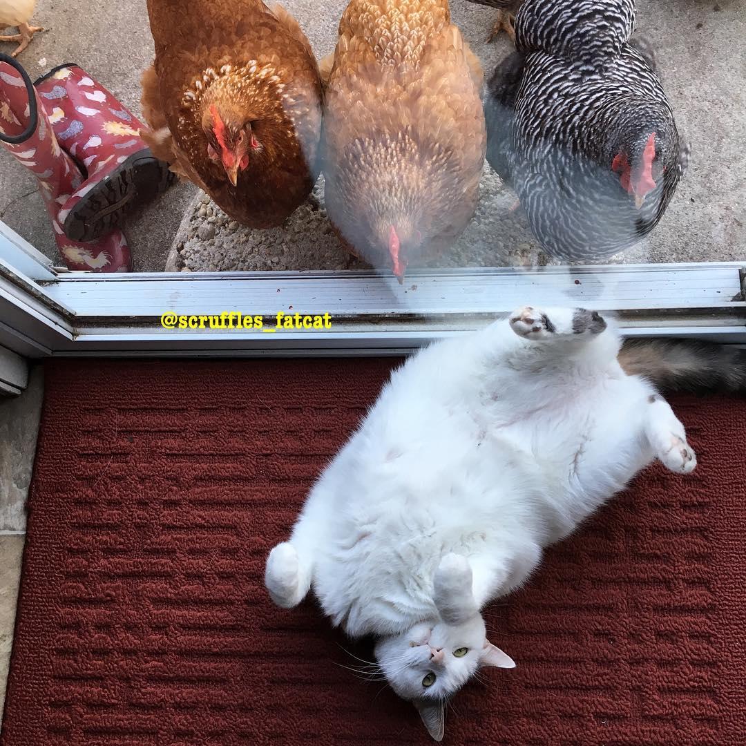 鸡界大明星!这只「胖猫皇」有着一群死忠粉丝,超专业粉丝服务每天变换「不同慵懒英姿」提供观赏! (14张) -21372984_271938106636099_3074296655143501824_n