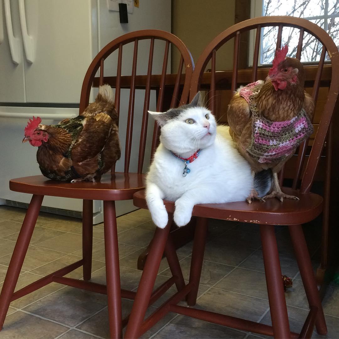 鸡界大明星!这只「胖猫皇」有着一群死忠粉丝,超专业粉丝服务每天变换「不同慵懒英姿」提供观赏! (14张) -21373256_135104217107628_4049279769211043840_n
