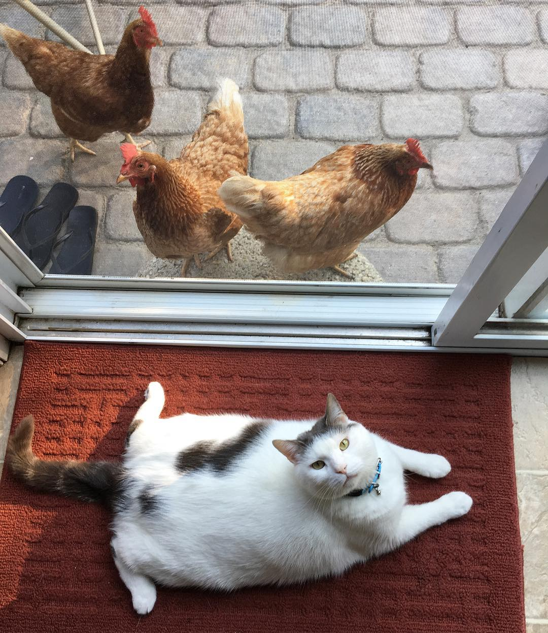 鸡界大明星!这只「胖猫皇」有着一群死忠粉丝,超专业粉丝服务每天变换「不同慵懒英姿」提供观赏! (14张) -21373352_149786915617083_2785060797083025408_n