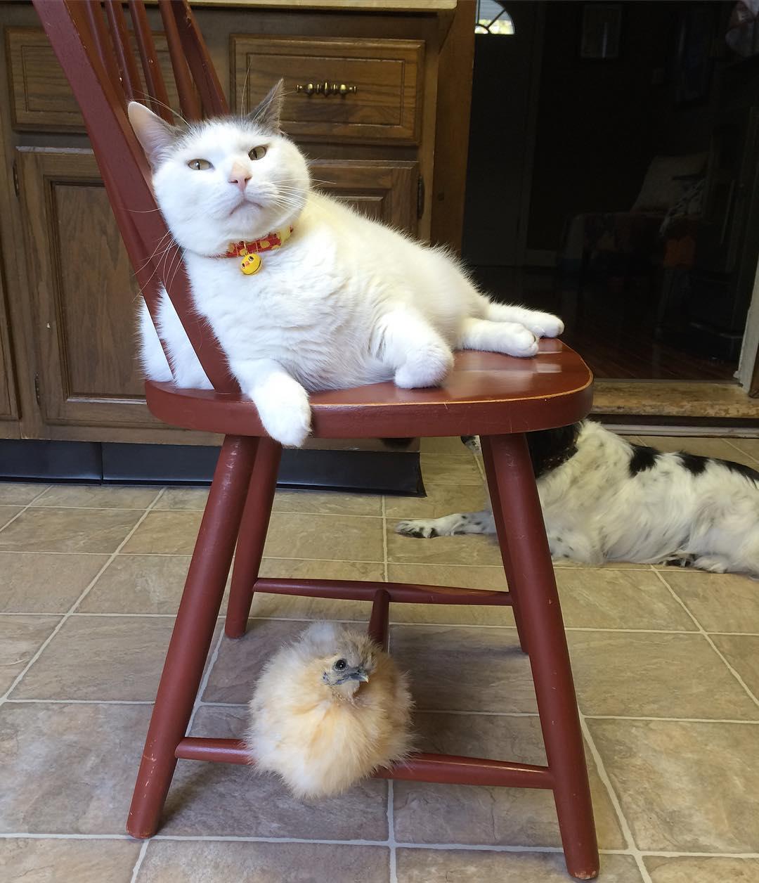 鸡界大明星!这只「胖猫皇」有着一群死忠粉丝,超专业粉丝服务每天变换「不同慵懒英姿」提供观赏! (14张) -21433400_508063319538633_1185089190451216384_n