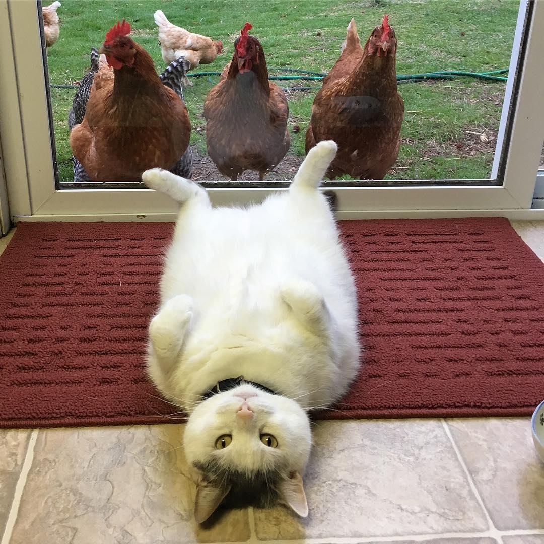 鸡界大明星!这只「胖猫皇」有着一群死忠粉丝,超专业粉丝服务每天变换「不同慵懒英姿」提供观赏! (14张) -21434120_1791458764485591_1923326263984914432_n