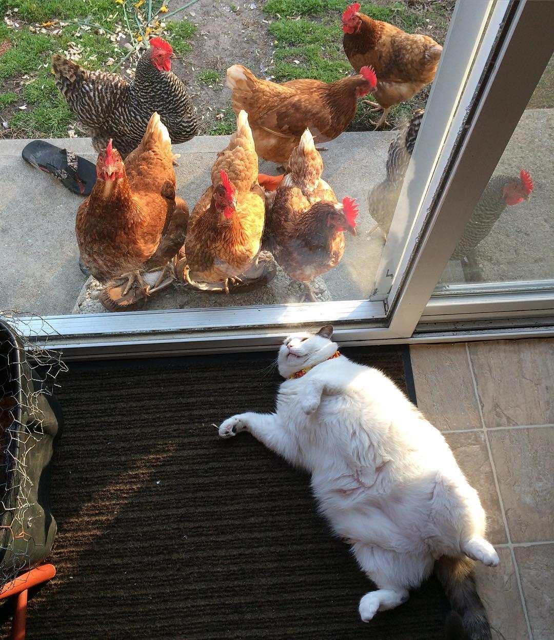 鸡界大明星!这只「胖猫皇」有着一群死忠粉丝,超专业粉丝服务每天变换「不同慵懒英姿」提供观赏! (14张) -21435767_1933164296896891_2428220122263977984_n