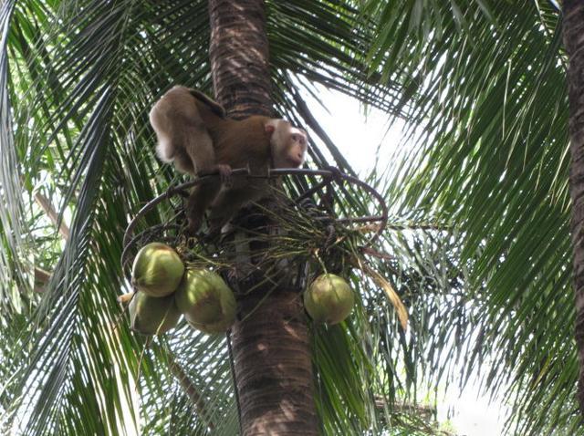 猴子不滿長期「超時工作+被毆打」,怒「用椰子砸主人頭」當場慘死