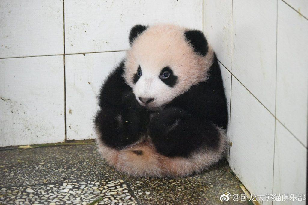 貓熊寶寶太調皮「被抱到牆角罰坐」 飼育員一回頭「變呆萌芝麻湯圓」瞬間萌爆小心臟!