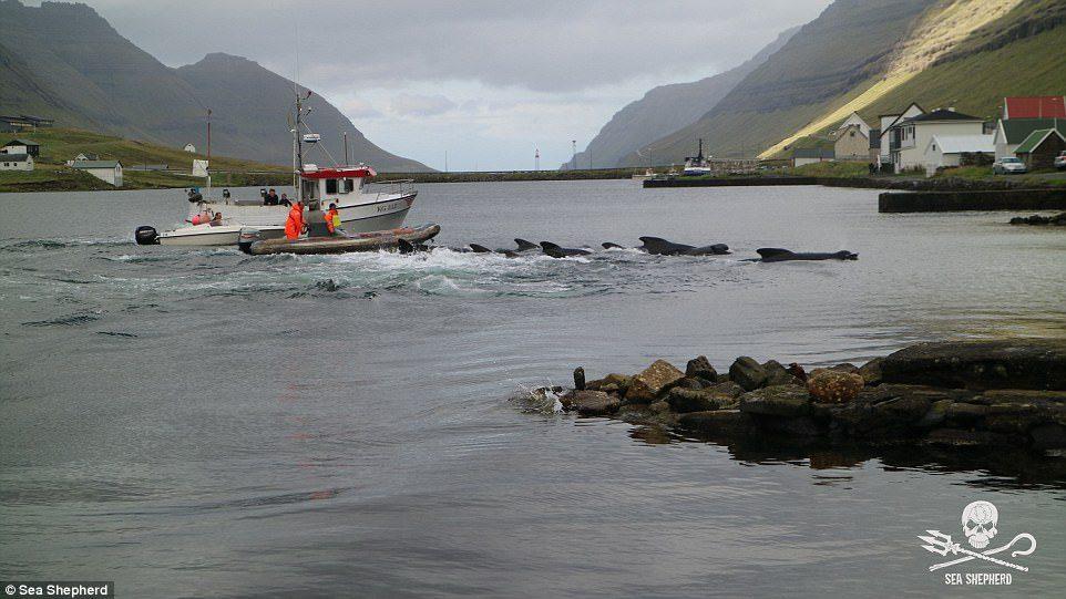 鯨魚悲歌!他們把1700隻鯨魚趕上岸「血染海灣」...小孩燦笑秀出「血手」爽領戰利品!