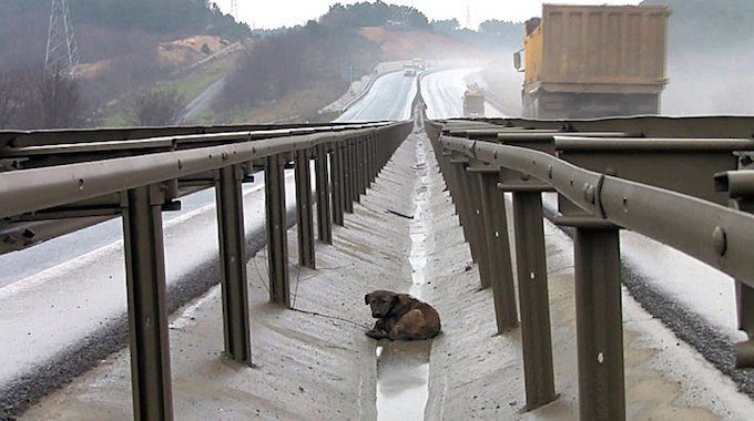 可憐浪浪被卡在「2條高速公路中間」,獲救後X光照讓獸醫鼻酸…(影片)