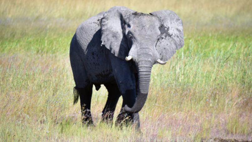 川普批准「獵殺大象戰利品入口」動保組織氣炸,外媒爆:看兒子就知道原因了