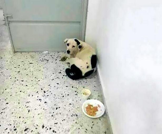 在機場到處「找了一個月」,可憐的2歲小狗狗最後心碎死亡...