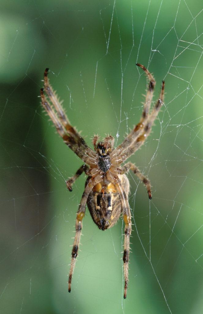 每人一年睡覺時都會誤吃掉6隻以上蜘蛛?科學家解答了!