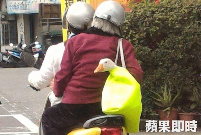 停紅燈驚見阿嬤揹「鵝」子出門!只露出頭「一臉淡定樣」網笑翻!他:確定不是晚餐