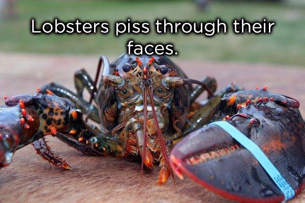 22個課本上學不到的「超獵奇有趣動物知識」!龍蝦是用臉尿尿的...嗯...別吃臉